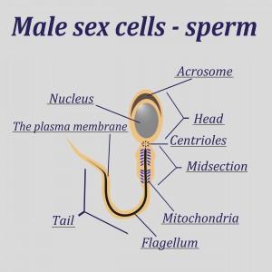 Een afbeelding van een sperma cel, die nodig is voor een bevruchting